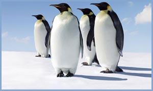 Едят ли люди пингвинов