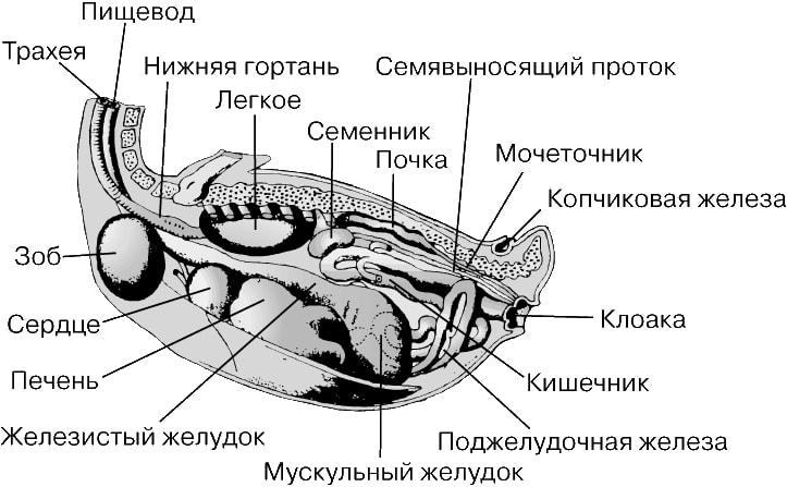 Железы Желудочные