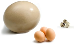 Сколько стоит страусиное яйцо