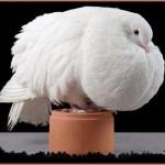 Разведение голубей на мясо