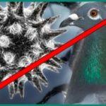 Можно ли от голубей заразиться птичьим гриппом