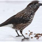 Кедровка птица можно ли ее есть
